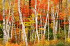 Birches in the Fall.